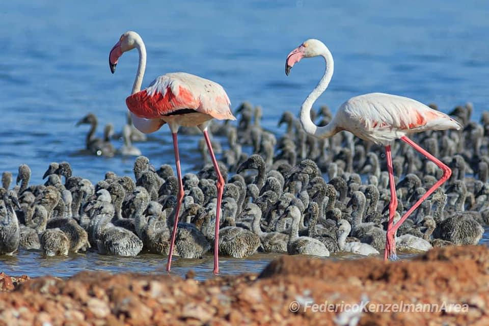 600 flamingokycklingar i torrevieja